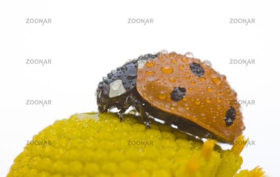 Seven spot ladybird on a  Helenium / Helenium