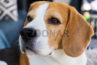 beagle dog relaxing on sofa outdoors