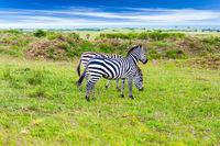 Charming zebras graze together