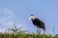 The marabou stork on nest Ethiopia Africa wildlife