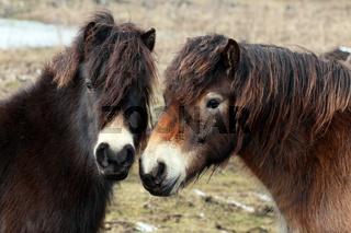 Exmoor-Ponys, Bayern