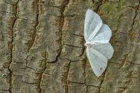 Weißstirn-Weißspanner Cabera pusaria)