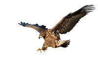 Juvenile white-tailed eagle landing isolated on white background