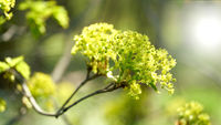 Inflorescence of a Norway maple (Acer platanoides) in a forest in springtime