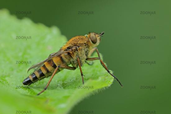 Stiletto fly (Thereva nobilitata)