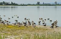 Greylag geese (Anser anser) on Lake Lange Lacke,Apetlon, Burgenland, Austria