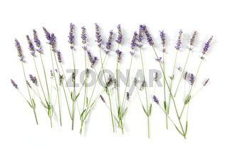 Lavender flowers, overhead flat lay shot on a white background. Lavandula