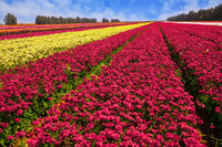 Kibbutz field of flowering buttercups