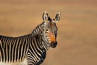 Portrait of a Cape mountain zebra (Equus zebra)