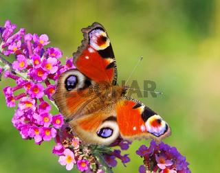 Sommerflieder mit Tagpfauenauge - Summer Lilac with European peacock 03