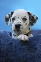 Dalmatian puppy, blue-eyed