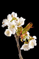 Detail shot of a branch of the cherry tree with flowers, buds and leaves in front of a blurred backg