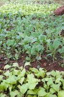 organic vegetables growing