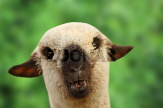 funny young sheep portrait looking at the camera