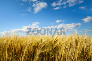 Wheat field with sunny blue sky