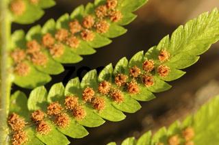 Sori auf der Blattunterseite des Echten Wurmfarns