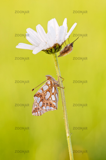 Queen of Spain fritillary and bee flies