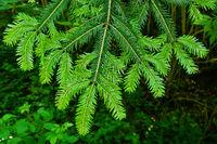 white fir, silver fir, New shoots in spring,