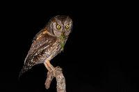 Eurasian scops owl holding green bush-cricket in beak while sitting on branch