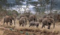 african elephants, Kruger NP, South Africa