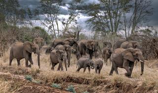 Elefantenherde im Kruger Nationalpark Südafrika | african elephants, Kruger NP, South Africa