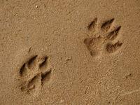 dog footprint close-up