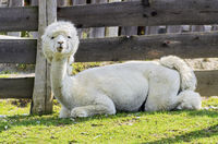 white fresh sheared alpaca