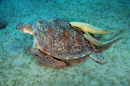 Live sharksucker and sea turtle