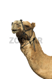 Head of a camel.