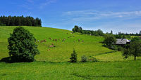 Southern Black Forest, Brigach spring area, grazing cows at a Black Forest farm