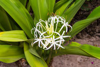 White Crinum flower in the blurred background in high resolution near the town of Gede in Kenya