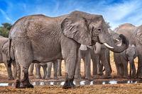 elephants at a waterhole, Etosha National Park, Namibia