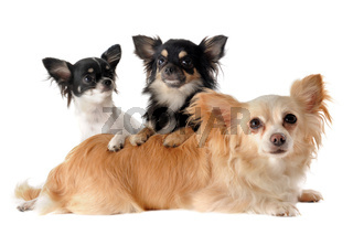 three chihuahuas