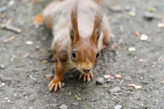 neugieriges Eichhörnchen schaut in die Kamera