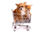 Two Chihuahuas in the shopping cart