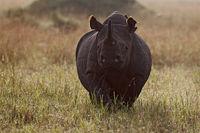 Black rhino, Masai Mara, Kenya