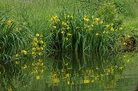 Yellow iris (Iris pseudacorus)