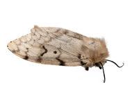 Dead moth gypsy moth , Lymantria dispar ,isolated on white