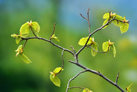 Hornbeam leaves after they sprout in spring