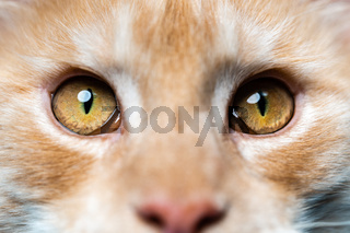 Extreme close-up portrait of red tabby American Coon Cat looking at camera
