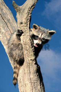 Junger Waschbaer auf Baum