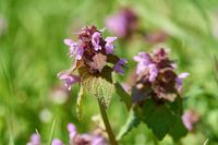 flowering deadnettle (Lamium purpureum) on a meadow in a park in springtime