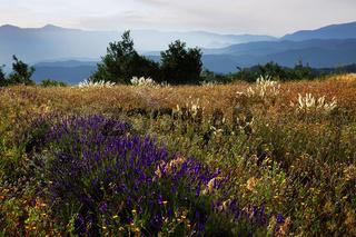 wilder Lavendel, Montagne de Lure, Provence, France