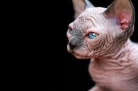 Portrait of Canadian Sphynx kitten with big blue eyes on black background