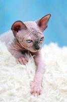 Sphynx Cat kitten lying down on white carpet and blue background