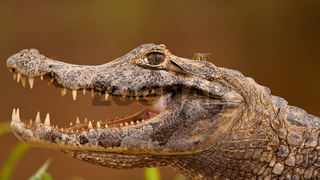Head of yacare caiman with open mouth and visible teeth, Pantanal, Brasil