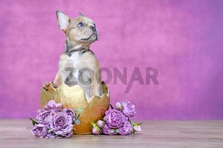 Französische Bulldogge Hundewelpe in goldenem Ei mit Blumen