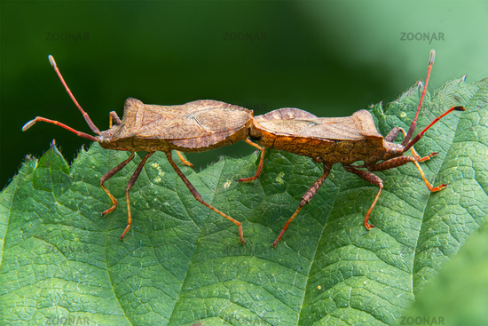 Detail shot of two sting bugs mating on a leaf against a blurred background