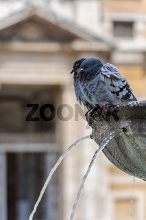 Pigeon in a water fountain