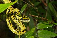 Sri Lankan Green Pit Viper, Sinharaja National Park Rain Forest, Sri Lanka